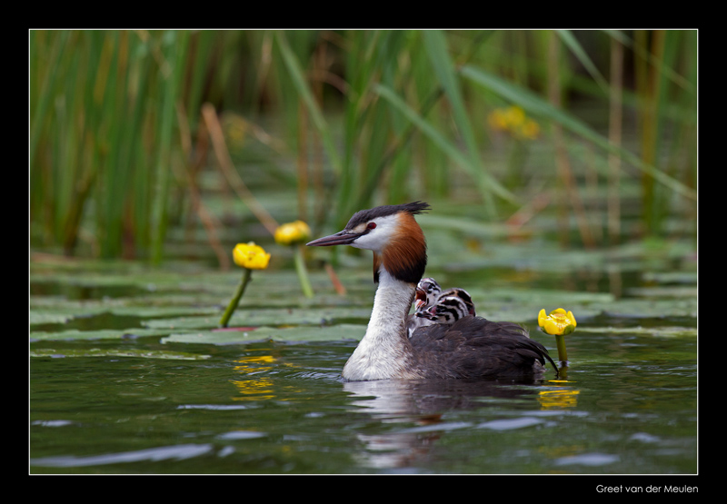 9989 great crested grebe with chicks