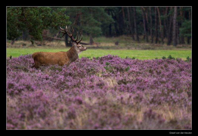 1830 red deer in blooming heather