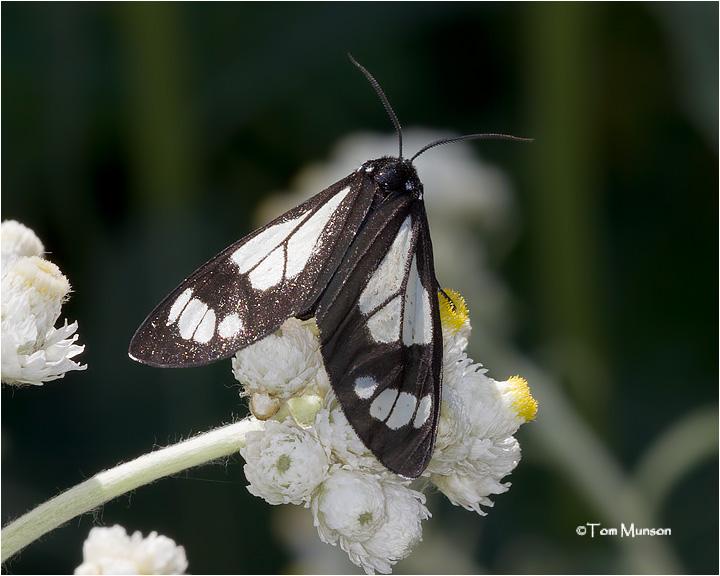 Bluebell Tiger Moth