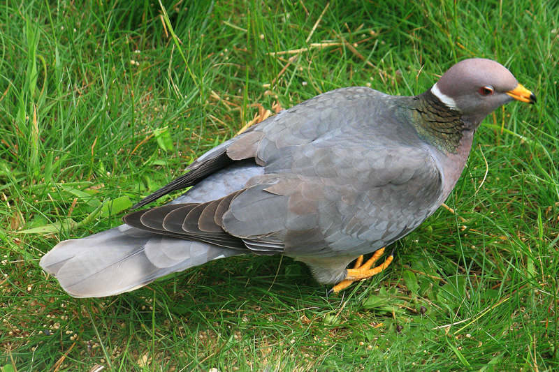 Band-tailed Pigeon  Columba fasciata
