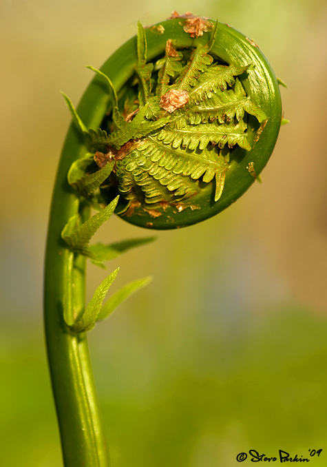 Ostrich Fern Unfurling