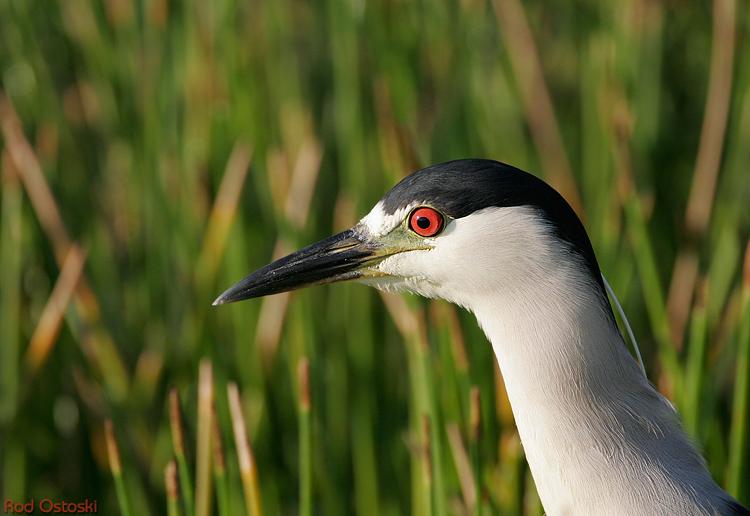 Night Crowned Heron