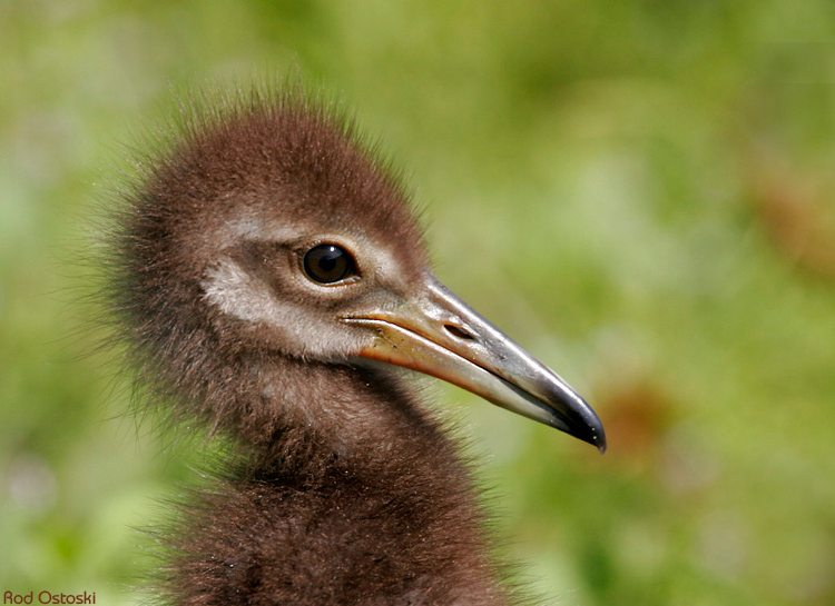 Baby Limpkin