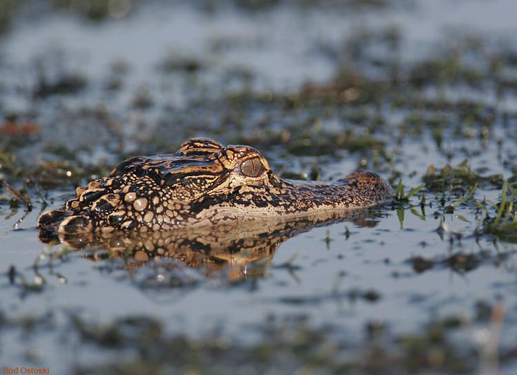 Morning Gator
