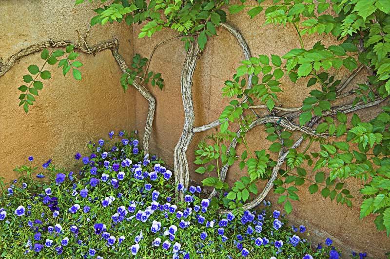 _MG_5854 Vine and Pansies