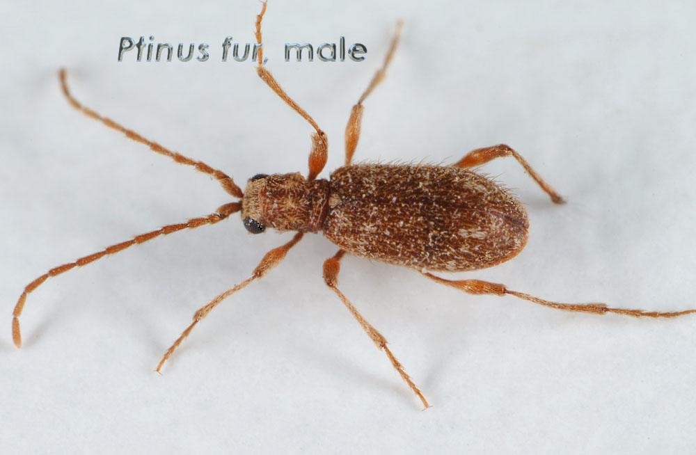 Ptinus-fur_m.jpg