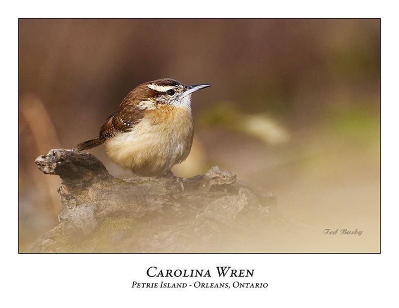 Carolina Wren-001