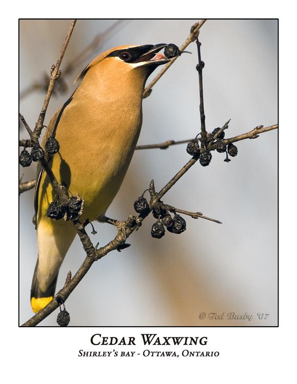 Cedar Waxwing-001