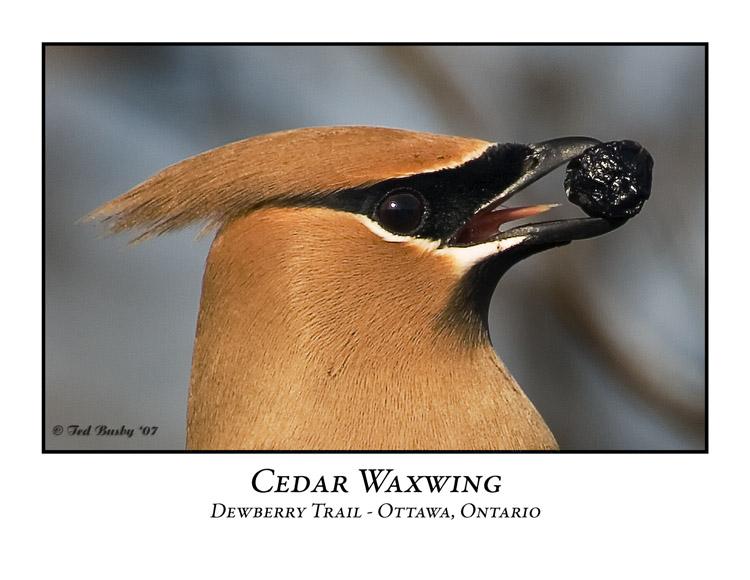 Cedar Waxwing-002