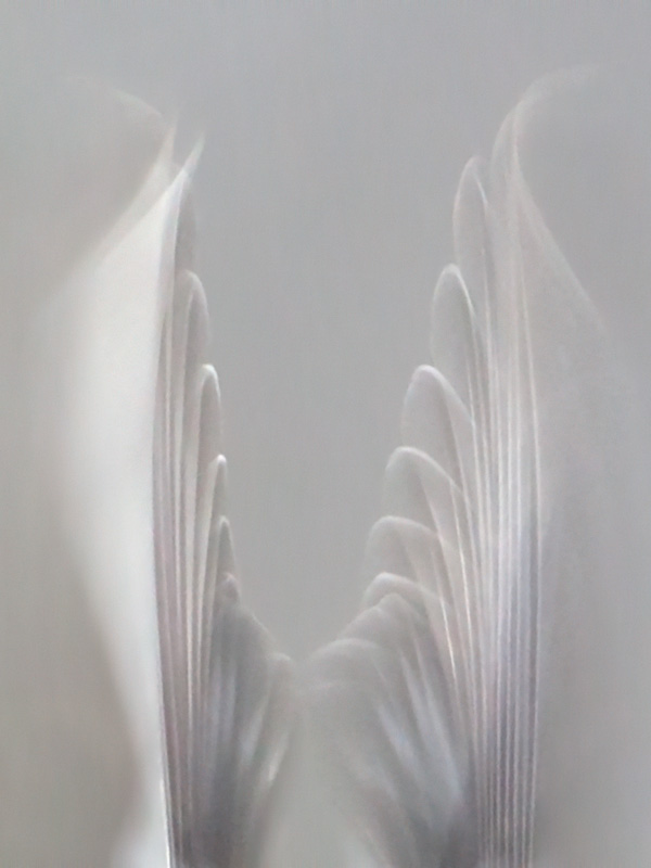 Common Redpoll Wing Tips in Flight