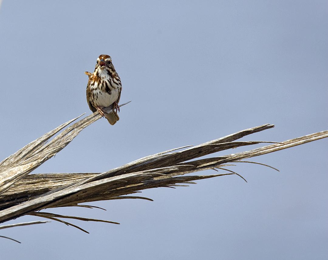 Song Sparrow 3909