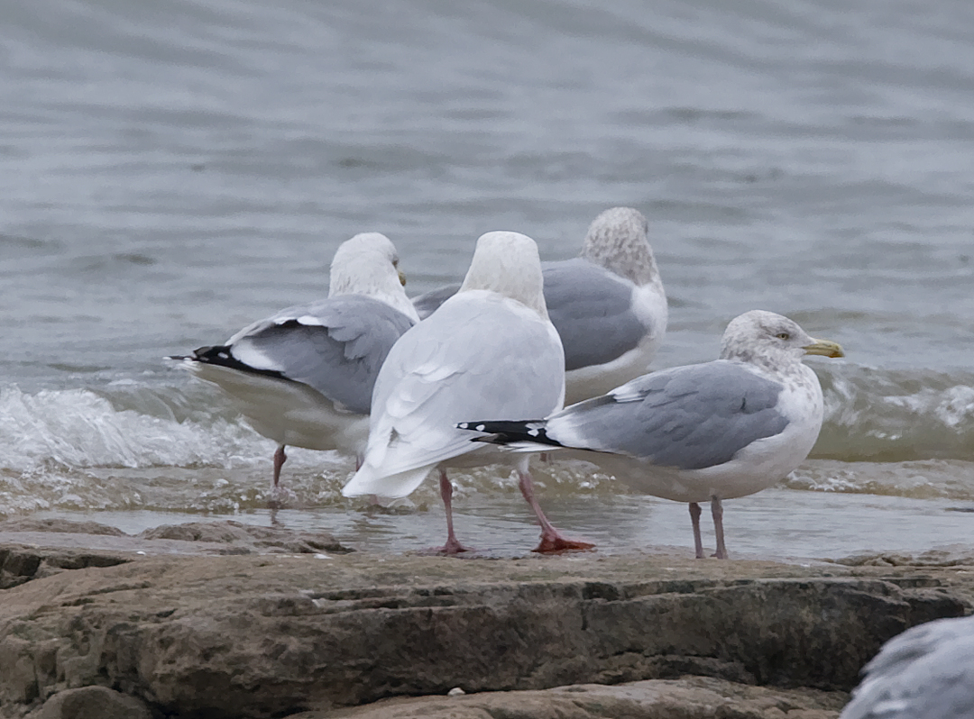 Glaucous center surrounded by Herring