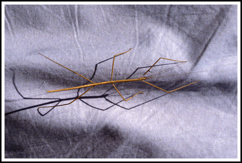 Stick Bug - First  Bug Macro I Recall Taking (1985)
