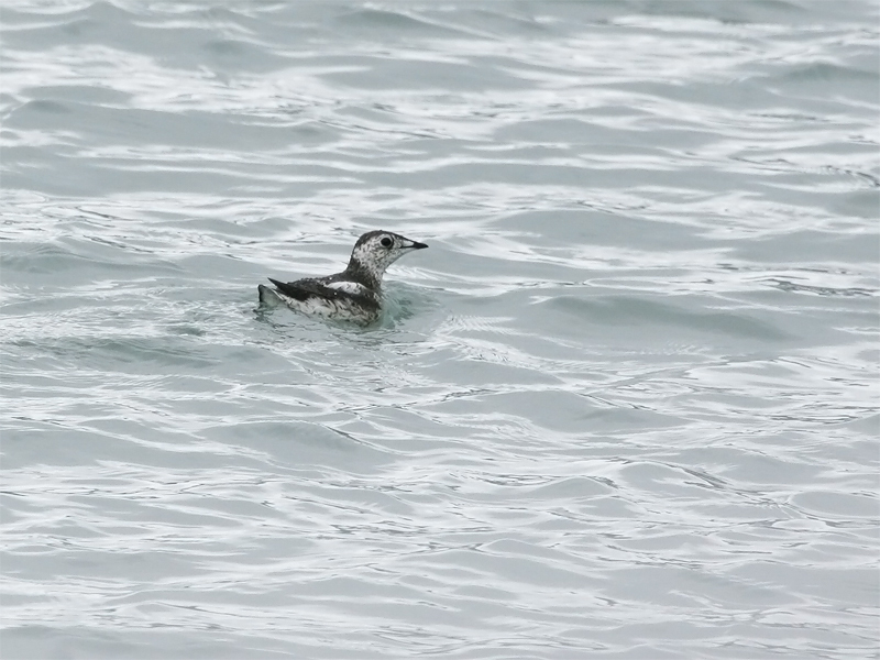 Kittlitz Murrelet