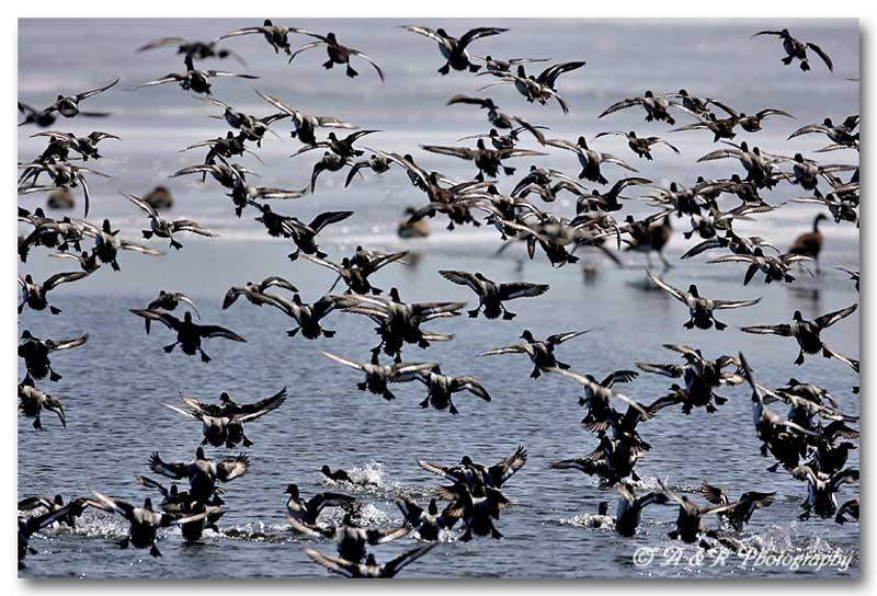 Ruddy ducks.jpg