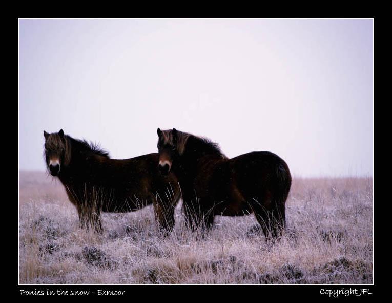 Exmoor Ponies in the snow