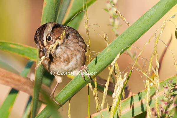 Snacking Swamp Sparrow