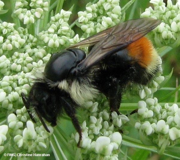 Red-banded bumblebee (<em>Bombus ternarius</em>)