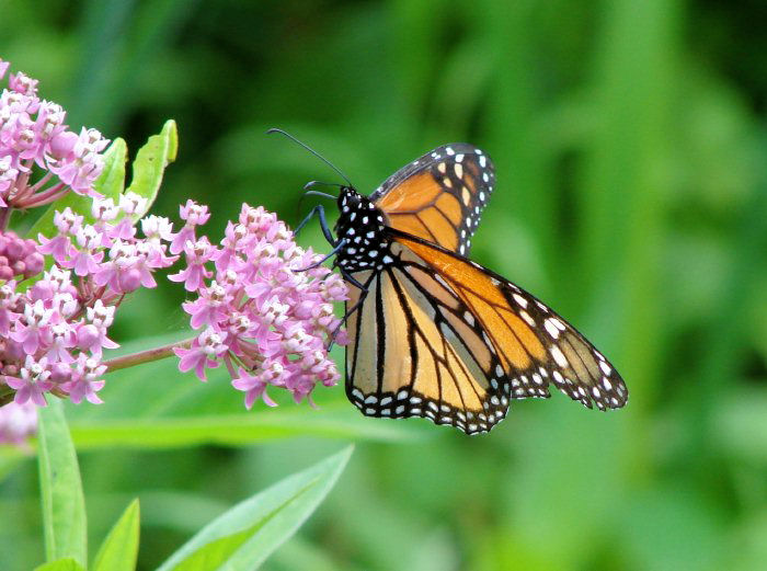 Monarch (<i>Danaus plexippus</i>)
