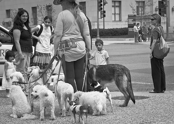 Watching A  Washington D.C.Dog Walker
