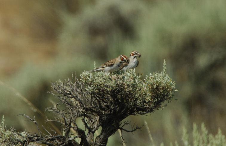 Lark Sparrow Pair  0706-6j  Vantage