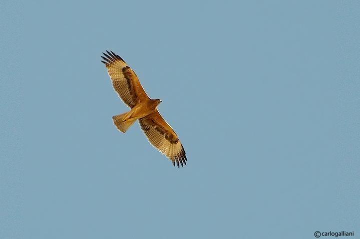 Aquila di Bonelli -Bonellis Eagle (Aquila fasciata)