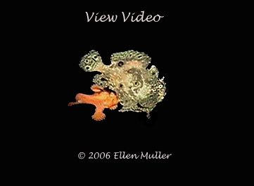 Frogfish Spawning Video