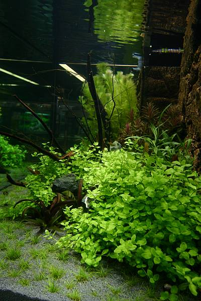 26th day - Bacopa australis (in front)