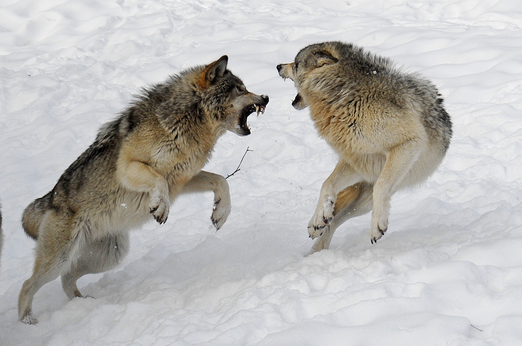Timberland Wolves Fighting For Food