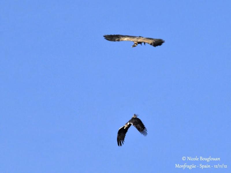 Spanish Imperial Eagle and Eurasian Griffon Vulture