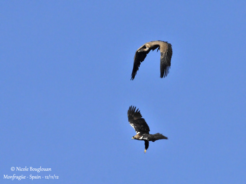Spanish Imperial Eagle and Eurasian Griffon Vulture