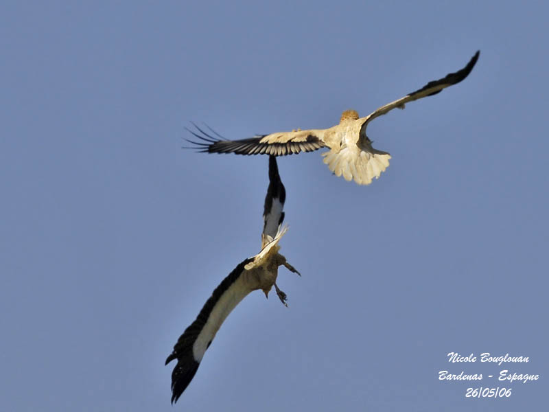 Egyptian Vultures-Fight or display...