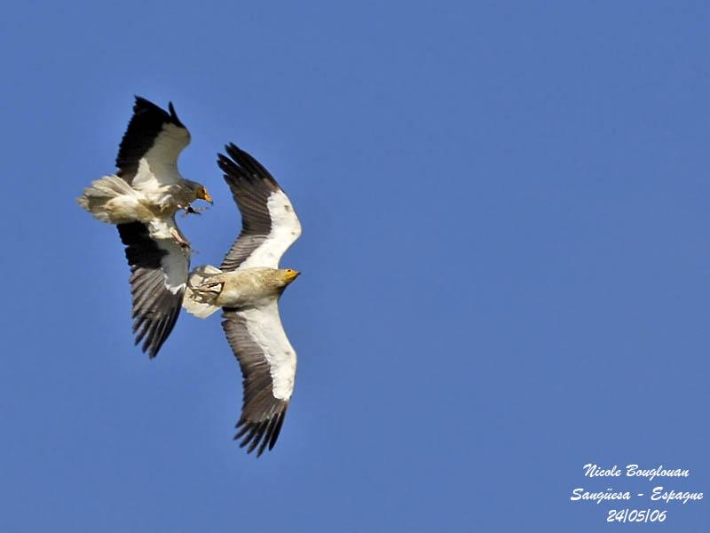 Egyptian Vultures - flight display