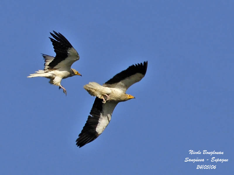 Egyptian Vultures - flight display