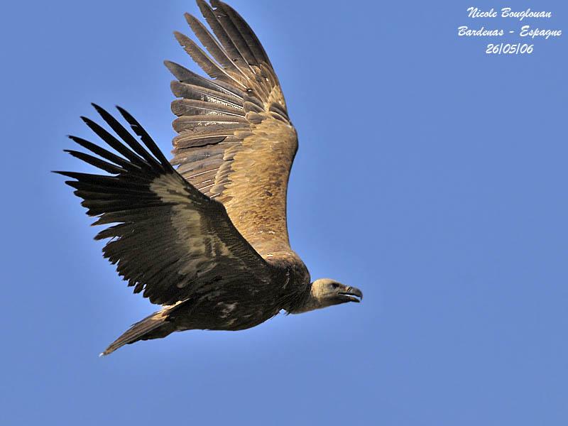 Eurasian Griffon Vulture flight