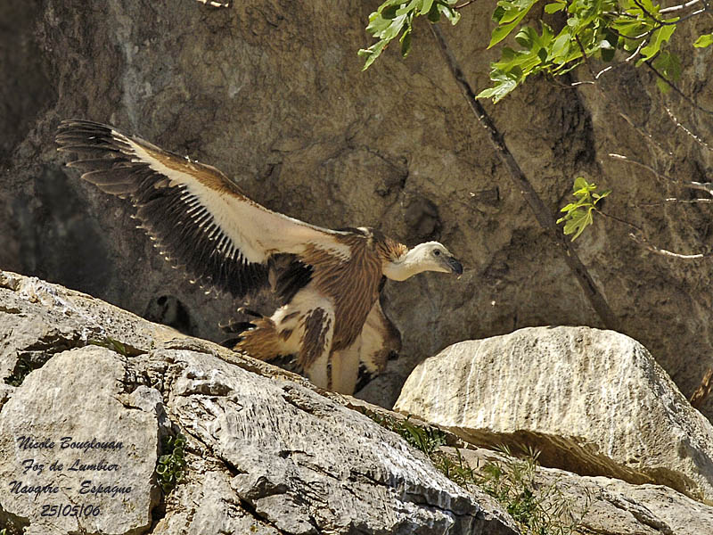 Griffon Vulture moving its wings before its first flight.