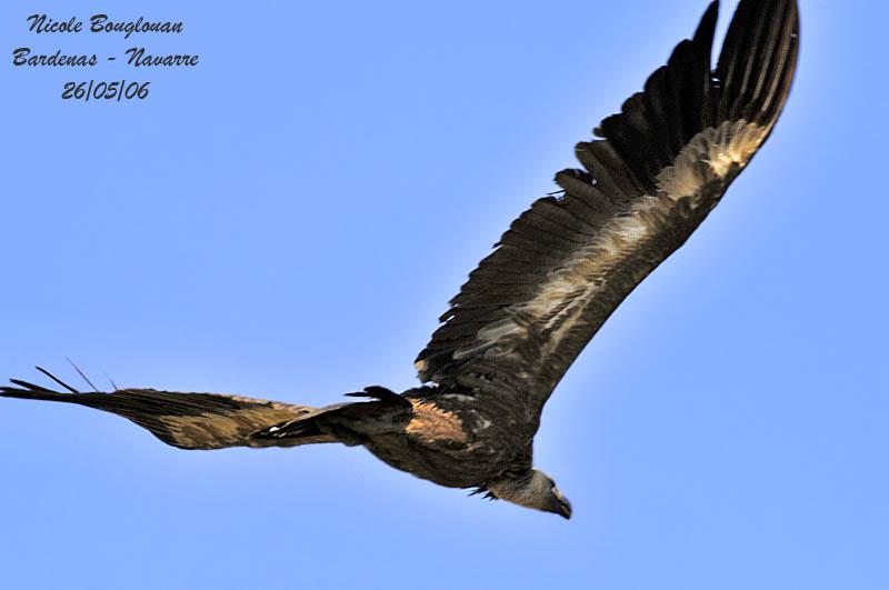 Griffon Vulture flight