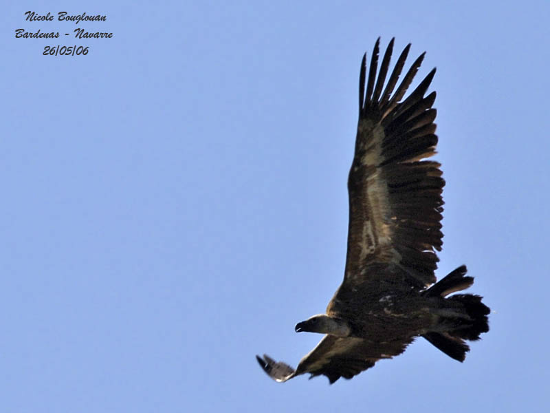 Griffon Vulture flight