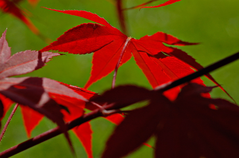 Red red maple