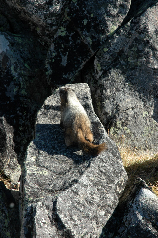 Marmot from Above