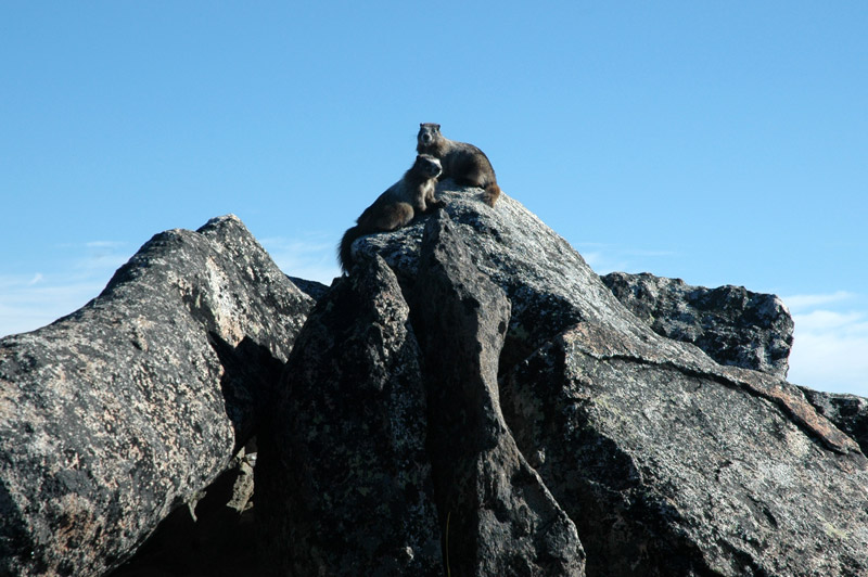 Marmots on Top