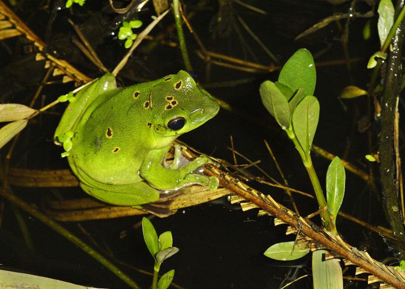 Tree frog during Spring rains.