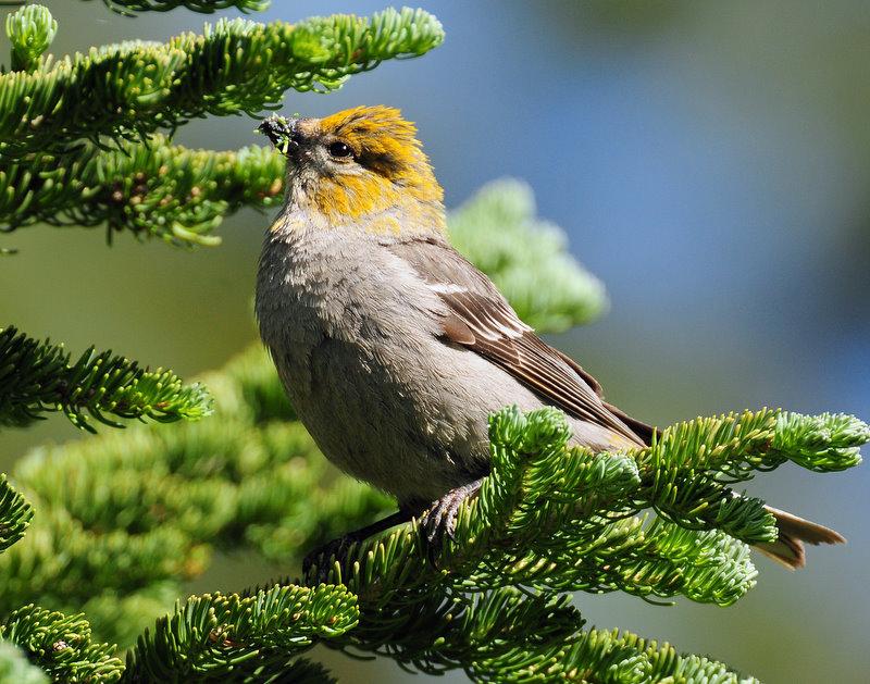 Grosbeak, Pine