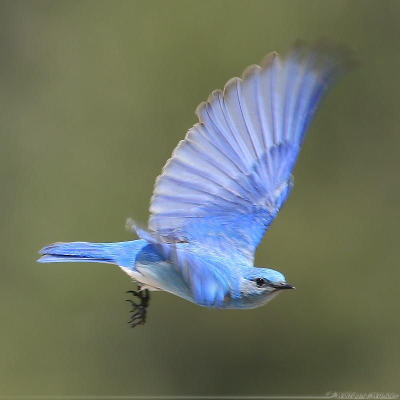 Mountain Bluebird <i>Sialia Currucoides</i>