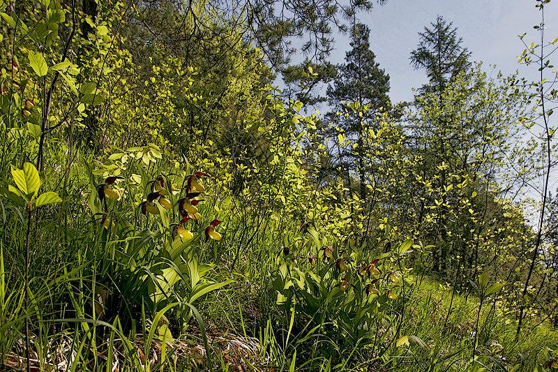 Frauenschuh <I>(Cypripedium calceolus)</I> Biotopaufnahme