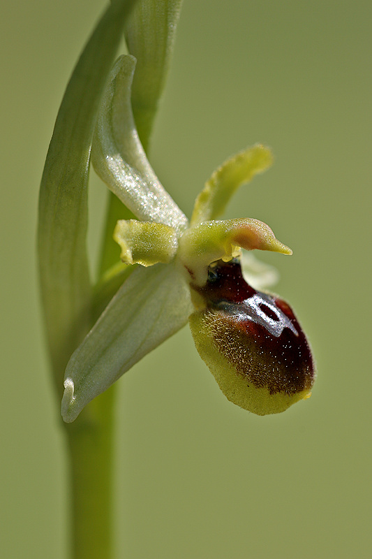 Kleine Spinnenragwurz <I>(Ophrys araneola)</I>