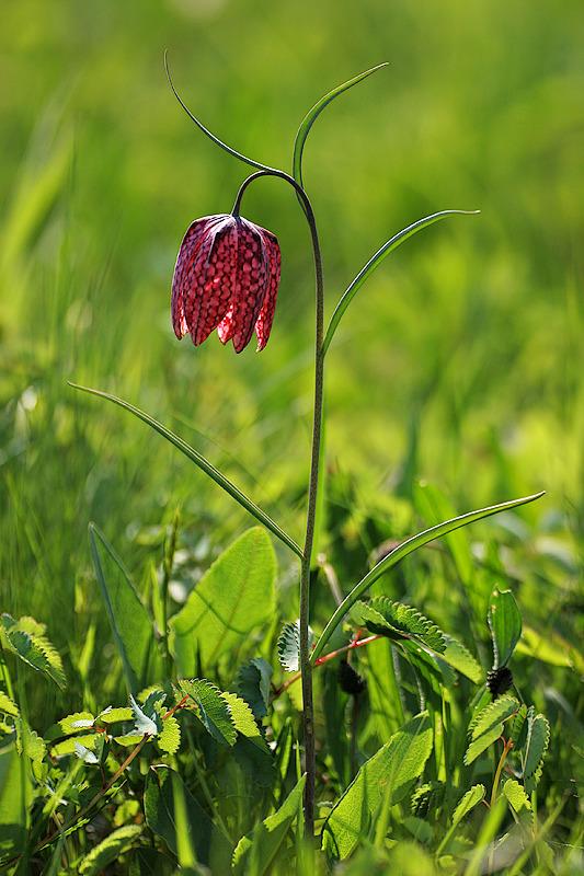 Schachblume <I>(Fritillaria meleagris)</I>