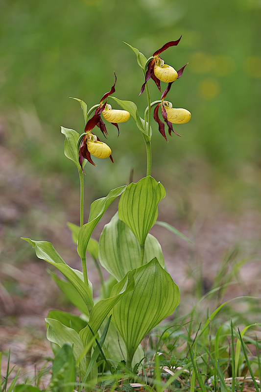 Frauenschuh <I>(Cypripedium calceolus)</I>