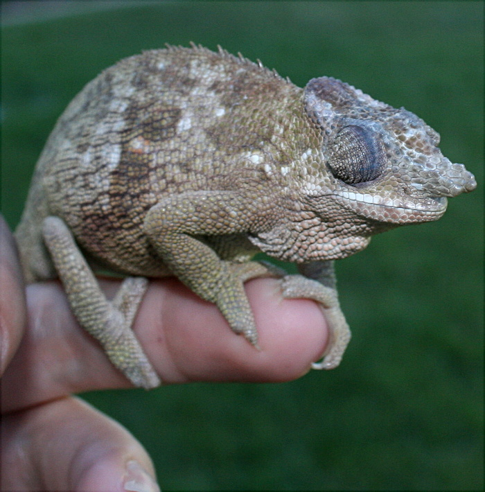 Chameleon   My granddaughters pet (all 4 pictures)