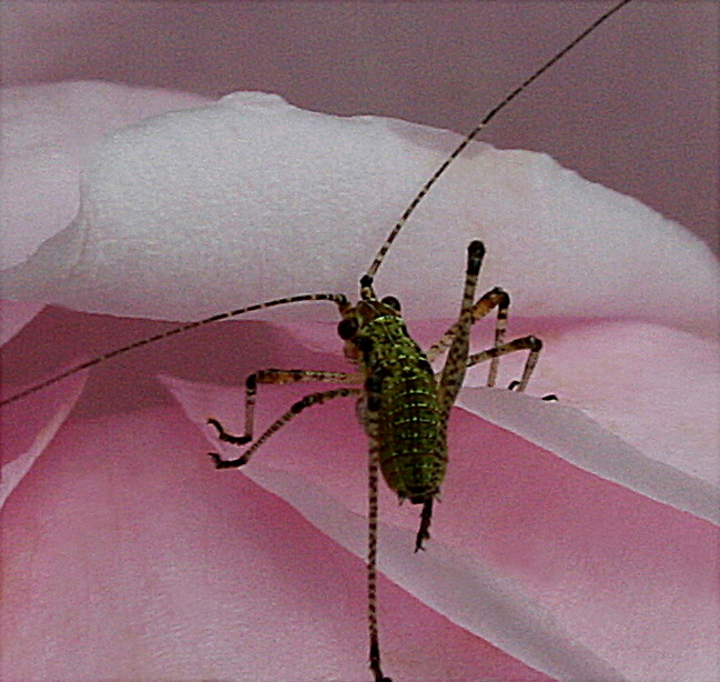 Katydid instar (immature stage).